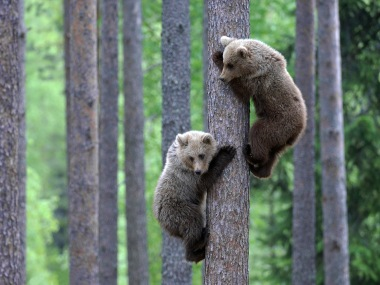 Two European brown bear (Ursus arctos) cubs climbing pine tree in taiga forest, Martinselkonen, Finland, June