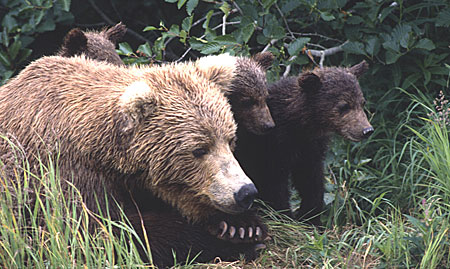 brown_bears_450